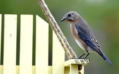 Lady B DSC_2209 (blthornburgh) Tags: bluebird easternbluebirdsialiasialis femalebluebird songbird florida tampa backyard backyardbird beautiful beauty birdfeeder sunshinestate blue feathers pattern