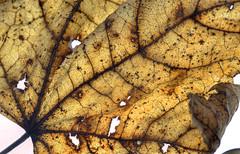 nature's language  ῼ 3 (DeZ - photolores) Tags: macro details leaf hdr nikond610 nikon tamron90mmf28 mirrorlockedup nature'slanguageωιseries design dez