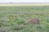 What a difference a year makes... (Hector16) Tags: ndutu eastafrica tanzania wildlife safari serengeti nature arusharegion tz cheetah specanimal ngc