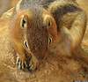 20160821_51 Golden-mantled Ground Squirrel (Spermophilus lateralis)? | Bryce Canyon, Utah (ratexla) Tags: ratexla'sgreentortoisetrip2016 ratexlascanyonsofthewesttrip2016 nonhumananimals greentortoise canyonsofthewest 21aug2016 2016 canonpowershotsx50hs bryce brycecanyon utah usa theus unitedstates theunitedstates america northamerica nordamerika earth tellus photophotospicturepicturesimageimagesfotofotonbildbilder wanderlust travel travelling traveling journey vacation holiday semester resaresor ontheroad hiking hike sommar summer beautiful nature life organism nonhumananimal animal animals djur cute cool wild wildlife vild vilda biology zoology goldenmantledgroundsquirrel spermophiluslateralis