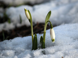 The First Snowbells Coming