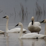A Bevy Of Swans thumbnail
