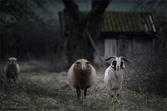 "best friends (klaus.huppertz) Tags: heilbronn animal tier schaf sheep ziege goat nikon nikkor nikond850 d850 300mm tele natur nature outdoor hütte haus cot cabin hut säugetier mammalian 300mmf28gvrii ""nikkor300mm28 nikonafsvrnikkor300mmf28gifed greatphotographers nikonafsnikkor300mmf28gedvrii goldcollection"