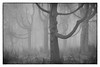larch trees (renatecamin) Tags: forest tree larch fog nature