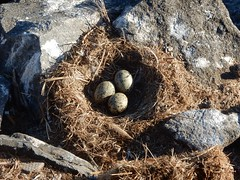 Eggs in the Nest (mikecogh) Tags: stanley nest eggs seagull speckled rocks