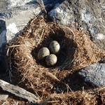 Eggs in the Nest thumbnail