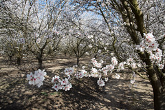 DSC_1182 (rskim119) Tags: fresno fruit tree blossom flower trail spring orchard