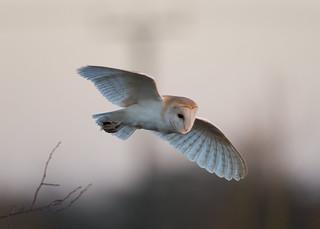 Winter Barn Owl_2