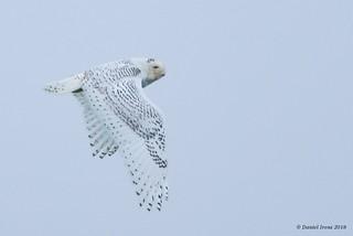 Snowy Owl (rare) - Dorchester, MD. 2/17/18