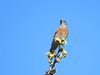 401: Western Bluebird (Sialia mexicana) (aking1) Tags: mtrpoakcanyon sialiamexicana westernbluebird sandiego california unitedstates us