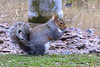 Grey Squirrel (raven fandango) Tags: grey squirrel marston vale wetlands nature reserve febuary 2018 animals animal mamal british countryside centre canon bedfordshire beds eos 7d mk ii 400 100400 england english feeding garden hungry winter photography park photo photos squirel wildlife wild wetland life