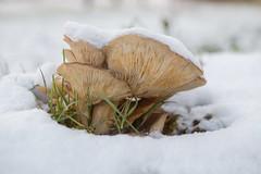 Brown Mushroom on Snow (Mariana Stewart) Tags: closeup cold mushrooms snow toadstools winter