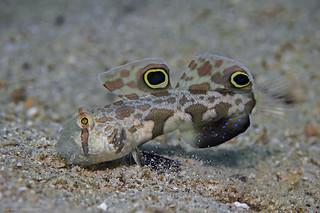 Crab-eye Goby, Krabbenaugen Grundel (Signigobius biocellatus)