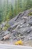 DSC_1770.jpg (Christa Claus) Tags: bighornsheep camper canadianrockies roundtrip rockymountains alberta jasper canada 2016 icefieldsparkway holiday animal 70200mm