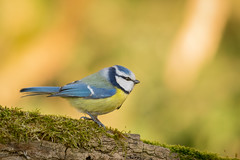 Mésange bleue (autainvillois) Tags: passeareaux forêt oiseaux birds couleurs nature