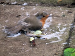 Snow Cold Robin Bath 04-03-2018 02 (gallftree008) Tags: snow chilled water robin redbreast washing itself like having bath its feathers by dunking head under my backyard swords co dublin ireland after storm emma now complete thaw 04032018 thebeastfromtheeast stormemma