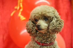 IMG_0190 (ImJustYas) Tags: dog dogs pet pets portrait canon profile meat eating red puddle toy mini hobby amature moment eyes puppy