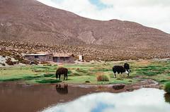 . (recuerdodelascosas) Tags: village 35mm film slr pentaxk1000 kodak chile san pedro atacama desert llama
