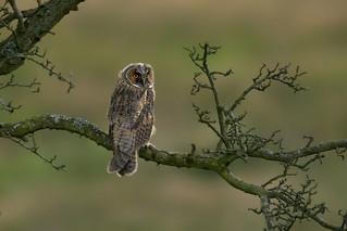Long-eared Owlet