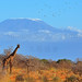 Mount Kilimanjaro (5895m) and the tallest terrestrial mammal on earth today, Kenya