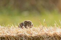 Civetta-Little Owl. (Riccardo Bocconi.) Tags: