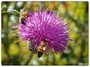 Three Bees on a Thistle (PEN-F_Fan) Tags: mft macro mirrorless microfourthirds m43 honeybee flowers insect mzuiko60mmf28macro lens purple processingsoftware raw type texasthistle primelens omd olympusomdem1 on1photoraw plant on1photoraw2018 dxophotolab bees animal affinityphoto color cirsiumtexanum camera austin texas unitedstates usa bokeh shallowdepthoffield flower bright