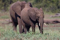 Staying close (leendert3) Tags: leonmolenaar southafrica krugernationalpark wildlife nature mammals africanelephant ngc npc coth5 naturethroughthelens