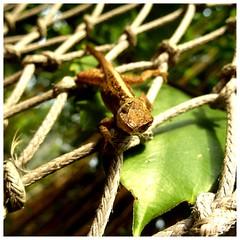 """What are you looking for in my territory?"" (Johannes Haupt) Tags: eidechse reptiel wierbeltier natur netz klettern suommer makro lizard reptile vertebrate nature net climbing summer macro"