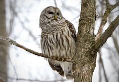Barred Owl (hd.niel) Tags: barredowl ironwood nature wildlife owls photography
