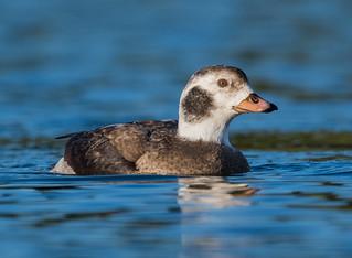 Long-tailed Duck. first year drake. Holme Pierrepont, Nottinghamshire.  DSC_5470.jpg