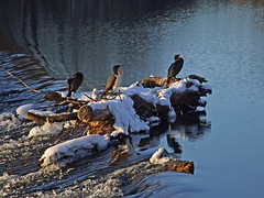 Cormorants on wintry Salmon Pool Weir (Philip_Goddard) Tags: animals birds britain british britishisles cormorant devon england europe exeter greatbritain naturalhistory nature phalacrocoracidae phalacrocorax phalacrocoraxcarbo river riverexe riversidevalleypark salmonpool salmonpoolweir southwestengland uk unitedkingdom vertebrates winter stjamessweir
