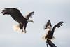 Umm.. There's No Room (wyrickodiak_9) Tags: kodiak alaska bald eagle raptor bird prey wildlife fishing boat