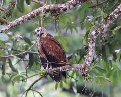 Black collared hawk (Victoria Morrow) Tags: