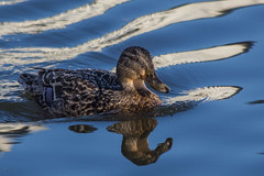 Duck with reflection (Oleg S .) Tags: bird iceland duck water reykjavik reflection animal