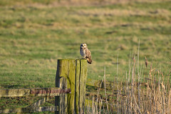 Short-eared Owl (Asio flammeus) (rtatn8) Tags: elmleyisleofsheppey uk wildlife bird adult winged wild nature outdoor avian england color colour landscapeorientation shortearedowl owl perchedonapost perched asioflammeus flickr