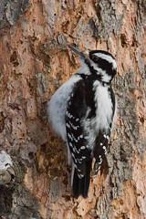 IMG_1090-16.jpg (David A Mitchell) Tags: wildlife birds woodpeckers hairywoodpecker
