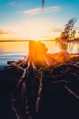 Goose Creek Sunset (ashercurri) Tags: birds fly sky sun landscape nc north carolina warm cold tree roots sony a7ii