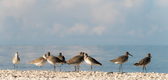 Willets lined up at the beach at Marco Island (flickcr) Tags: willet marcoisland location animal florida gulf mexico gulfofmexico ef100400 canon 7dii birds outdoor naturephotography wildlifephotography usa wildlife nature