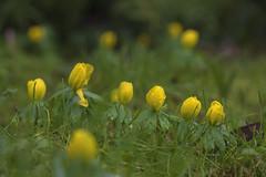 MS Bot Garten 28012018 25 (Dirk Buse) Tags: münster nordrheinwestfalen deutschland deu natur nature outdoor gelb grün pflanze blüte color colour farbe olympus omd em1ii zuiko pro 40150 mft m43