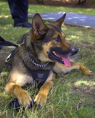 Police Dog In Training (swong95765) Tags: dog training police canine animal alert