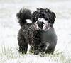 White moustache (Robyn Hooz) Tags: penelope padova bafforosso white dog puppy play fun moustache baffo paw pet bau