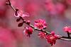 紅梅 (Copa.oreo) Tags: 紅梅 梅の花