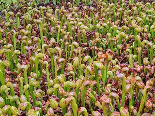 Cobra Lilies #1 - Oregon
