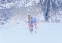 Caught In The Wind (Roy Manchester) Tags: catskill newyork unitedstates us canon canonllenses 5dsr availablelight animals colors eos ef ef70200f28isiiusm 7020028lisii gps geotag snow horses hudsonvalley wind