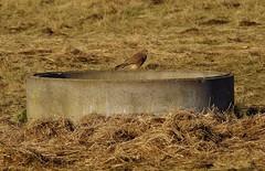 kestrel (Simon Dell Photography) Tags: uk garden brown nature wildlife simon dell photography sheffield shirebrook valley views horse silhouette s12 hackenthorpe 2018