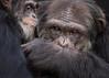Patrick Grooming Taz (CrystalAlbaPhotos) Tags: chimpanzee portrait animals wildlife nature apes primates sanctuary grooming behavior