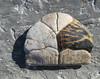 Part of a turtle shell (Monceau) Tags: turtle shell old outside piece tortoiseshell bone partofsomething odc natural nature