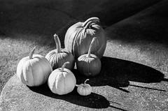 old soldiers (RubyT (I come here for cameradarie)) Tags: pentaxlx fa77ltd pumpkins gourds squash web pentax pentaxart bw nb bn blancoynegro noirblanc schwarzweiss blackandwhite черноеибелое mono monocromo monochrome film analog kodaktmax400