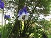 CKuchem-5824 (christine_kuchem) Tags: akelei blüte blüten garten hummel insekten nahrung natur naturgarten nektar pflanze privatgarten schatten schattengarten selbstaussaat sommer wildpflanze blau lila naturnah natürlich wild zweifarbig