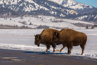 Bison crossing road at Elk Flats Turnout